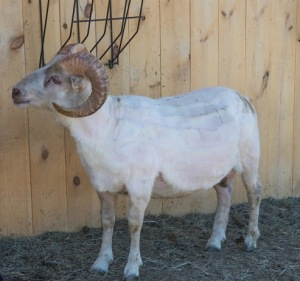 Prince sheared and ready for summer, photo by Rob Spring