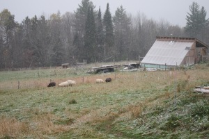 Sheep Grazing in Snow Flurry