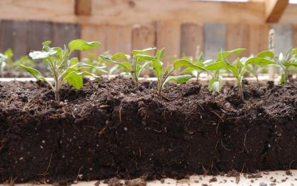 Tomatoes in Soil Blocks